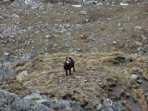 capra neagra 1