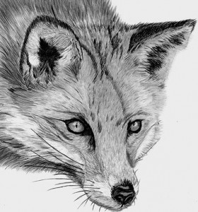 red-fox-drawing (2)