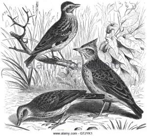 eurasian-skylark-alauda-arvensis-woodlark-lullula-arborea-crested-g7jyk1