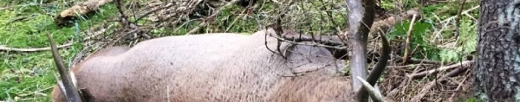 Kárpáti gim szarvas